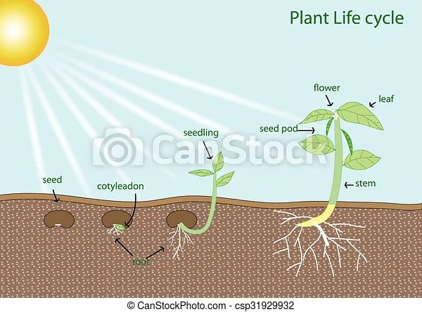 Graphic Tree Diagram Plant Life Cycle