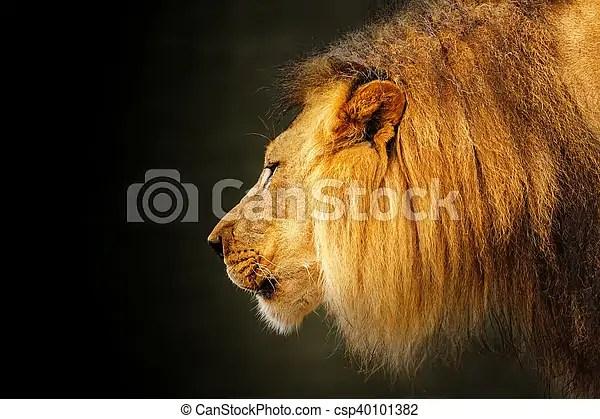 profile fierce lion dark