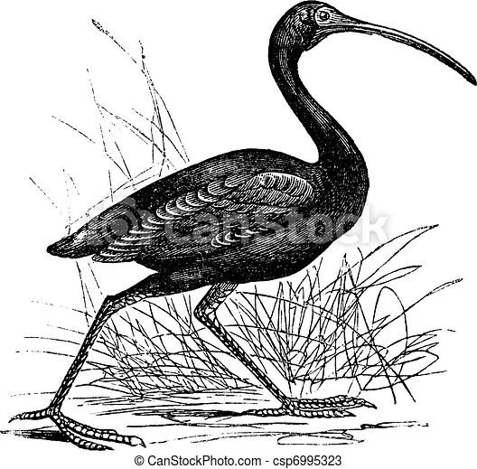 Scarlet ibis or eudocimus ruber vintage engraving. Scarlet