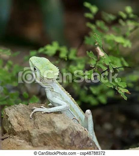 serrated basilisk lizard