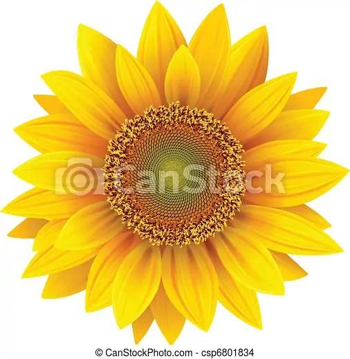 vector sunflower realistic illustration
