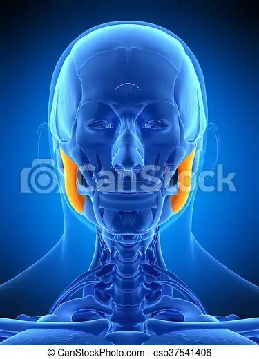 Medically accurate illustration of the masseter superior.