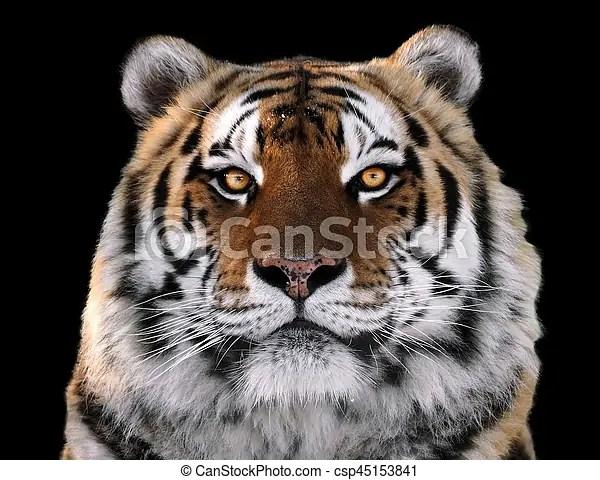 tiger s face close