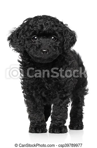Black Teacup Poodle : black, teacup, poodle, Poodle, Puppy, White, Background., Black, Posing, CanStock