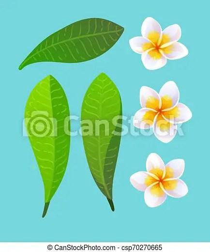 Plumeria Clipart : plumeria, clipart, Vector, Illustration, Plumeria, Flowers, Leaves., CanStock