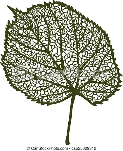 vector linden leaf isolated