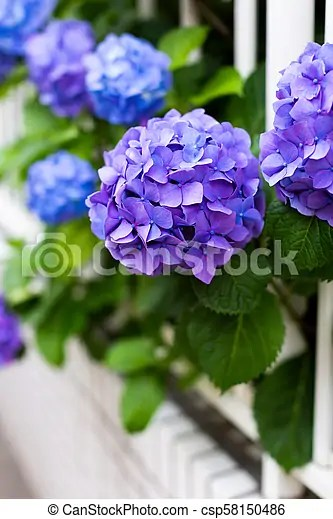 violet hydrangeas and white