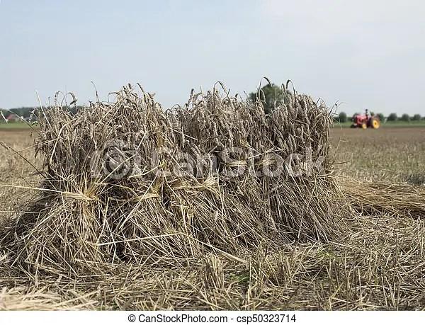 wheat sheaves on field