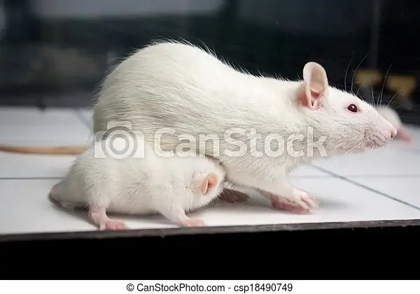 White (albino) rat with baby rat on open field board.