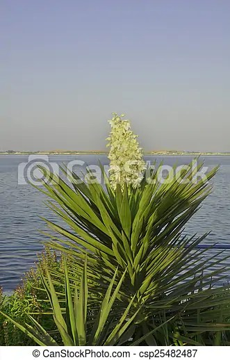 Yucca plant. Planted here as part of the corniche landscaping in abu dhabi, uae.