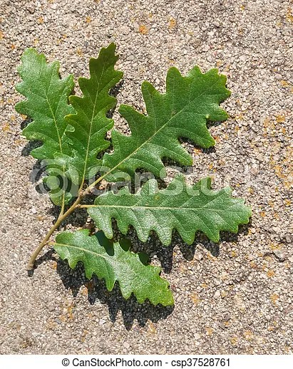 arbre trottoir feuille chene vert