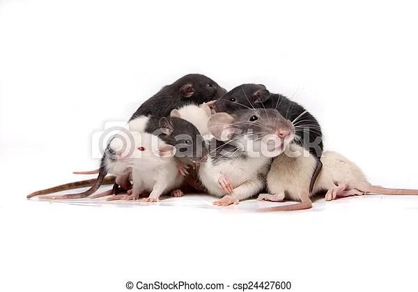 Bébé. escalade. rat. rats. mère. Sur. rats. mignon. mère. chouchou. sur. blanc. trois. groupe. quatre. eachother. rat. fond. escalade. bébé ...