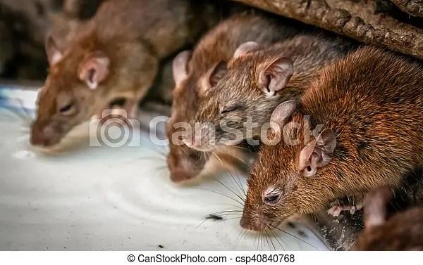 Boire. rats. lait. Rats. saint. inde. bikaner. deshnok. boire. mata. karni. temple. lait.