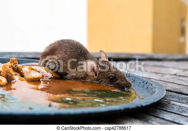 Mort. rat. souricière. souricière. colle. rats. piège souris.   CanStock