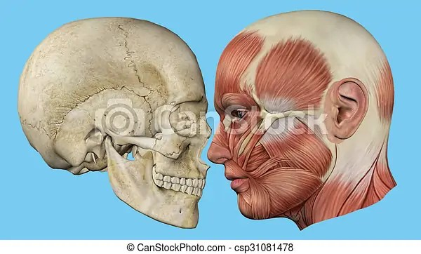 Profil. muscles. crâne. Zygomaticus. muscles. mandibule. crâne. profile:. orbicularis. os. commandant. occipital. zygomatique   CanStock