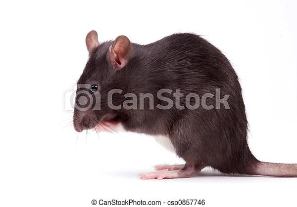 Très. intelligent. rats. rongeurs. artful.