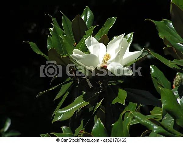 頭. 花. 葉子. 花瓣. 木蘭. 白色.