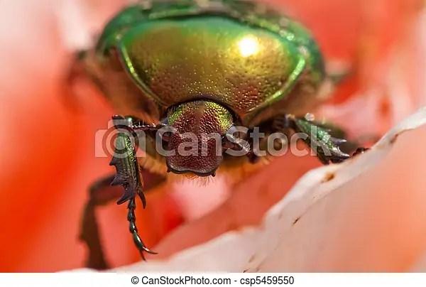 甲蟲. (rose, -, aurata, cetonia, 金龜子, beetle)