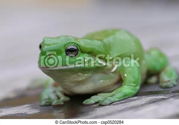 綠色樹青蛙. Treen, 格林蛙.   CanStock