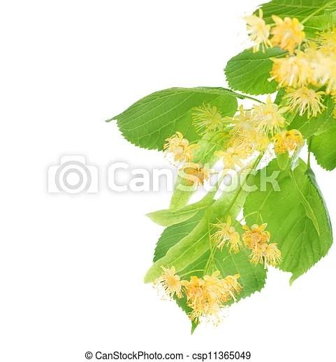 花, 菩提樹, 樹, 邊框.   CanStock