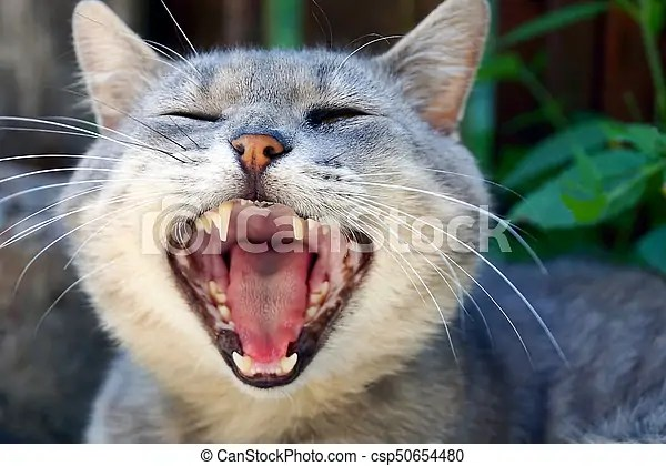 Large gray cat with wide open mouth Gray cat with wide open mouth on the street