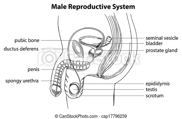 Male reproductive system. Illustration showing the male