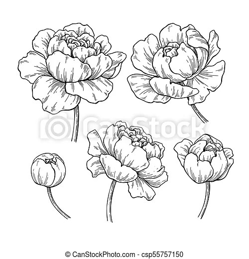 Peony botanical drawing. vector hand drawn engraved flower