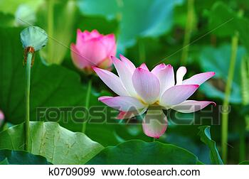 Stock Photograph - Lotus flowers and seed head. Fotosearch - Search Stock Photography, Posters, Pictures, and Photo Clipart Images