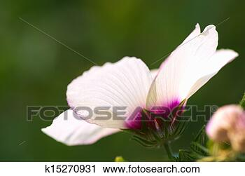 Stock Photography - white rose of sharon. Fotosearch - Search Stock Photos, Pictures, Prints, Images, and Photo Clip Art