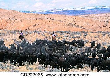 Stock Image - cattle drive utah<br /><br /><br /><br /><br /> usa. fotosearch<br /><br /><br /><br /><br /> - search stock<br /><br /><br /><br /><br /> photos, pictures,<br /><br /><br /><br /><br /> wall murals, images,<br /><br /><br /><br /><br /> and photo clipart