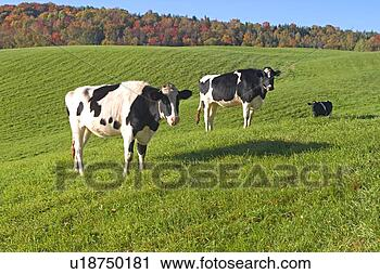 Stock Photography - cows grazing in  a green grass  field. fotosearch  - search stock  photos, pictures,  wall murals, images,  and photo clipart