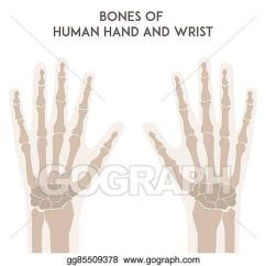 Wrist And Hand Unlabeled Diagram Train Horn Wiring Eps Illustration Bones Of Human Vector Clipart