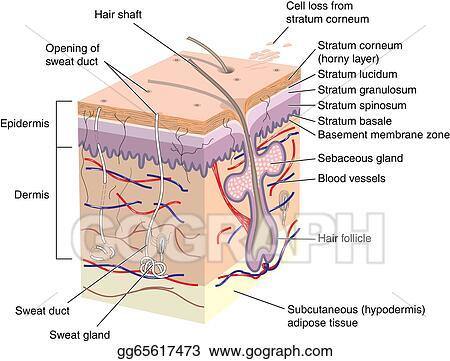 skin cross section diagram oma parc de la villette stock illustration of human clip art