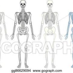 Human Bone Structure Diagram 98 Ford Ranger Alternator Wiring Eps Vector Different Of Skeleton Stock Clipart