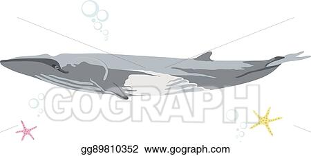 Vector Art Finback whale icon isolated on white background cartoon realistic whale Clipart Drawing gg89810352 GoGraph