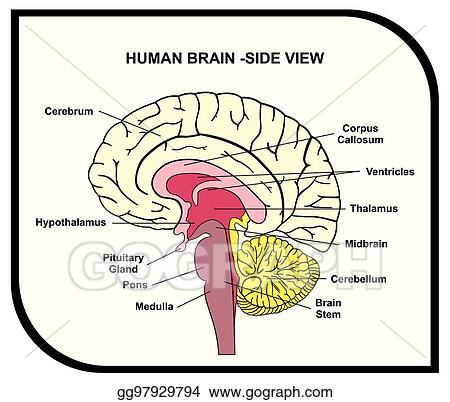 brain diagram pons 3 phase motor wiring 9 wire vector art human anatomy clipart drawing gg97929794