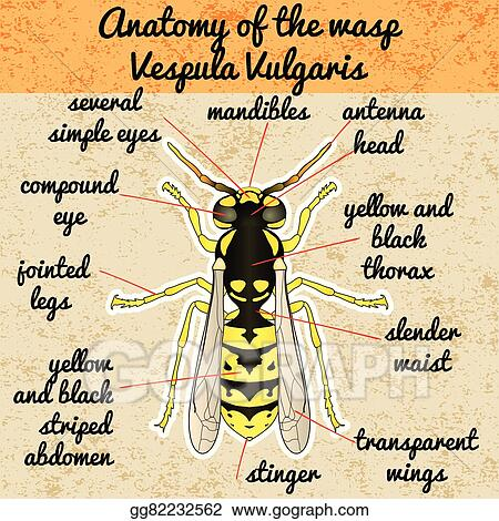 hornet anatomy diagram chevelle wiring vector art insect wasp vespula vulgaris sketch of design for coloring book hand drawn