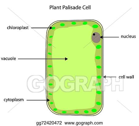elodea leaf cell diagram 2016 dodge journey wiring eps illustration - labelled of plant palisade cell. vector clipart gg72420472 gograph