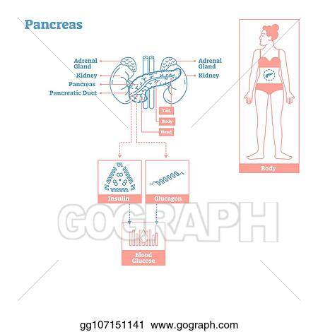 endocrine system diagram parts of a compound light microscope clip art vector pancreas glands medical science illustration