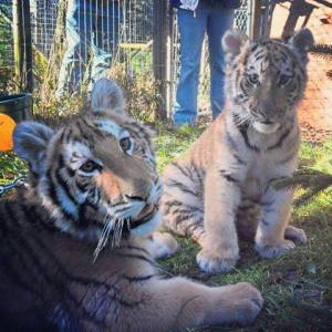 So cute I could have a heart attack - baby tigers