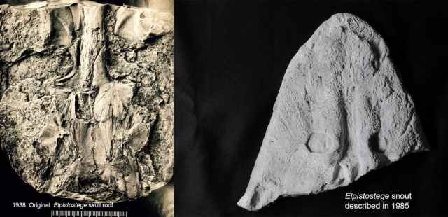 Los hallazgos originales del techo del cráneo de Elpistostege