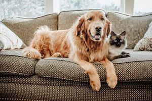 A golden retriever dog and a cat sitting on a couch together