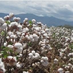 ICA aprobó calendario para siembra de algodón en municipios del Huila