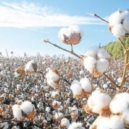Fechas importantes siembras algodón - Cosecha Interior 2019