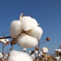 7 de octubre, día mundial del algodón