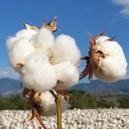 ¡Atención algodoneros del Huilla! Se ampliaron las fechas para la venta, siembra y resiembra de semillas