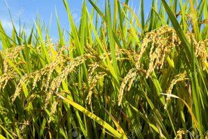 570126-Detalles-de-las-plantas-de-arroz-japonesas-en-septiembre-momentos-antes-de-la-cosecha-Foto-de-archivo