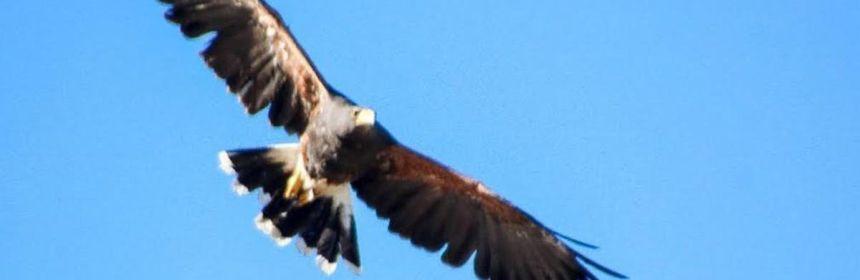 aguila real profepa coahuila crop1581648274806.jpg 673822677 - Liberan un Águila Real y once aves de presa en Coahuila - #Noticias