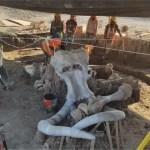 mamuts - Restos de 60 mamuts hallados en Santa Lucía podrían ser parte de un grupo más grande