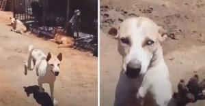 perro ciego reconoce voz cuidador - Perro ciego reconoce voz de cuidador favorito y corre a abrazarlo. No necesita verlo para darle amor
